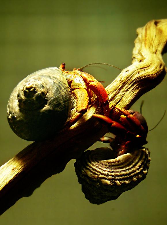 Coenobitidae