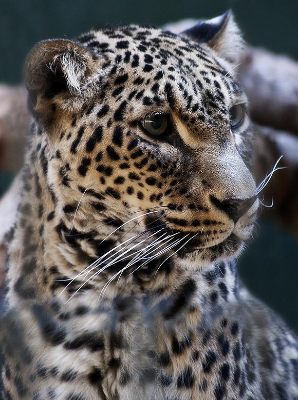 Panthera Pardus Saxicolor